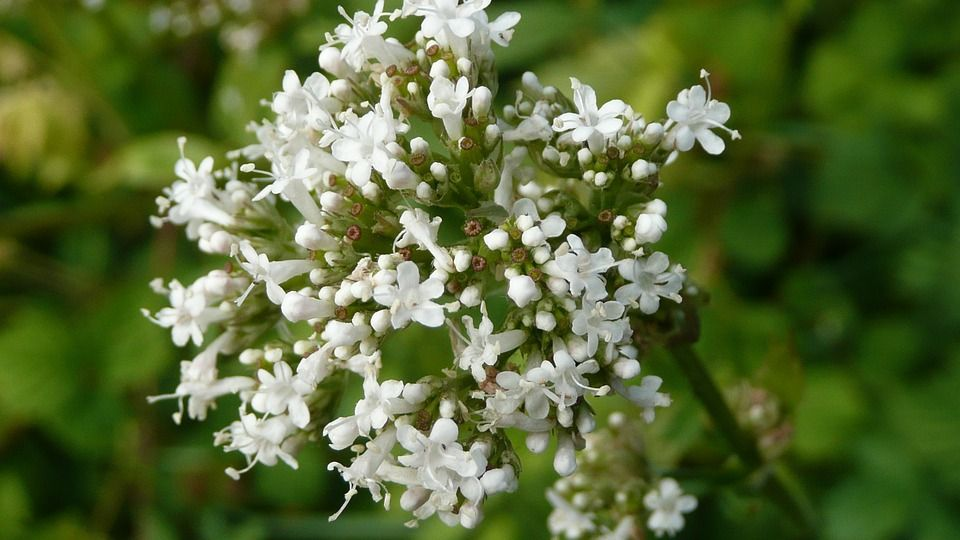 waleriana zioła